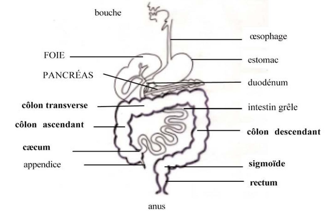 L'hygiène intestinale : 3ème pilier de la méthode